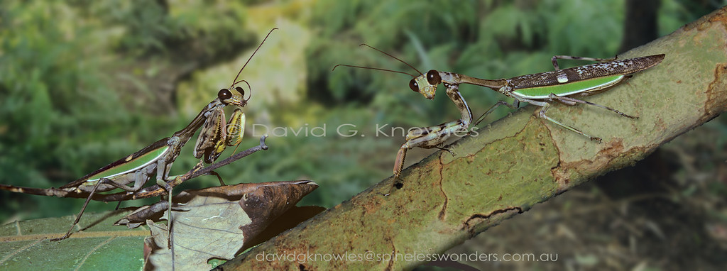The Genus Heirodula are 'typical' mantids. They form a large Genus containing over 100 species with most occurring in South East Asia. H. heteroptera has what appears to be a 'juxtapositionry' form of camouflage where a living green leaf overlays a still attached dead leaf