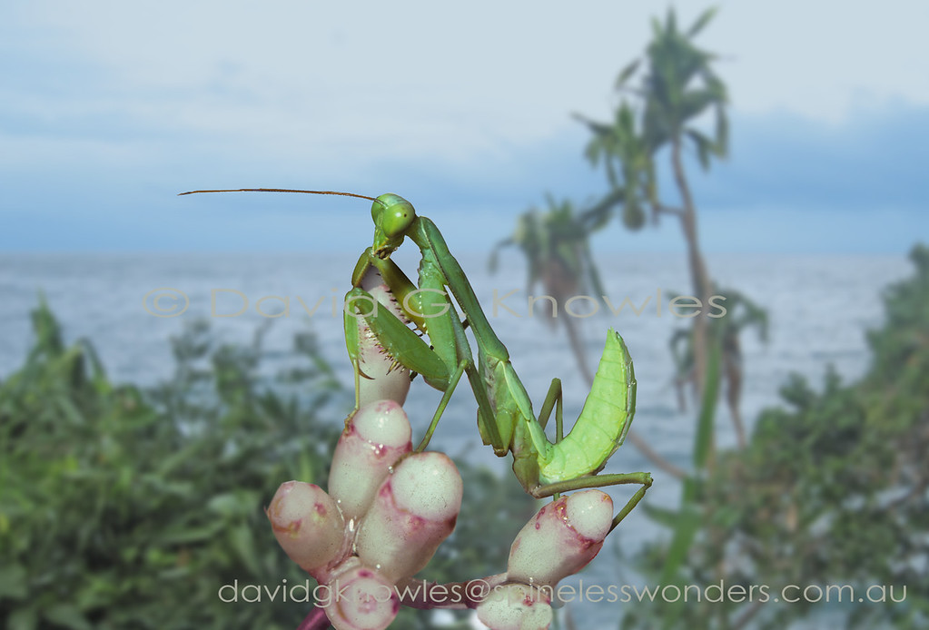 The Genus Heirodula are 'typical' mantids. They form a large Genus containing over 100 species with most occurring in South East Asia. Living green leaves are the most common camouflage background utilised by insects including Mantids. This is a half grown nymph as indicated by the two left side 'wing buds'
