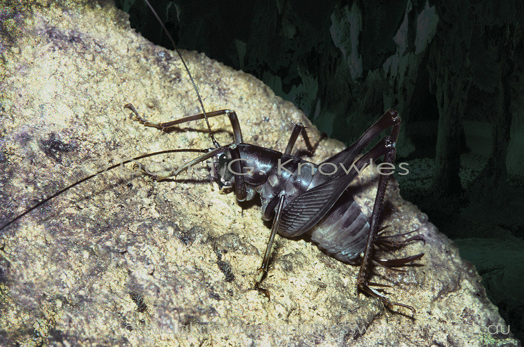 This Bornean cave cricket is the giant of its Family. It lives in some of the world's largest caves with complex ecologies dependent on the presence of millions of Swiftlets (birds) and bats. These vertebrate insectivores collectively harvest thousands of tons of flying insect biomass every day and night from the feeding catchment around the cave roosting sites. During the roosting period tons of guano (poo) are deposited during the 24 hour cycle on the cave floor where it attracts an army of coprophages (poo-eaters - mostly cockroaches) that recycle the nutrients. This system in turn attracts predators and scavengers. Rhaphidophora needs to be large to deal with its preferred food of Swiftlet eggs. It will also scavenge their carcasses and those of bats as well