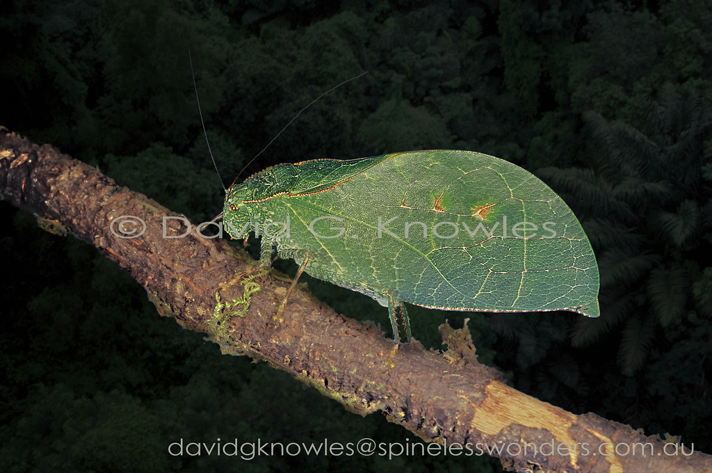 A classic full 'living leaf camouflage' Katydid wanders along a snagged dead stick fallen from the canopy above. It broke when a Gibbon landed on the same branch and ended up creating a temporary 'Katydid bridge' until the next jarring shake from an Orangutan sends it tumbling below to the next snag point, or maybe it will fall straight to the ground. Some do some don't