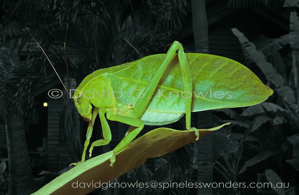 This species is a typical 'whole living leaf' camouflage artist. Unlike many of its cousins there are no feeding scars or other types of leaf damage commonly seen in rainforest foliage 'painted' on this species. As far as the legs go they are only moderately flanged