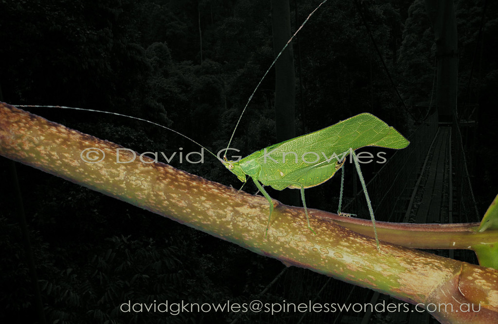 As this Katydid rests immobile during the day among the canopy leaves of its rainforest haven it may witness an Orangutan, Leaf Monkey, or a Gibbon passing by on a regular basis. All of these large vertebrates are herbivores that take bites out of leaves without consuming the rest of the leaf, perhaps because it is not yet 'ripe' for the plucking. Therefore predators inhabiting the same habitat will be used to seeing bitten leaves. I suspect this Katydid may benefit from the 'over-familiarity' of predators with this 'leaf condition'