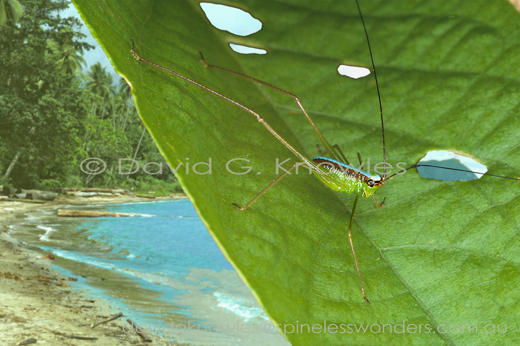 This group of small long-limbed leaf-running crickets are known by some as spider katydids. Most of the carnivorous members of the Family tend to be large and tend to ambush prey. These species are small, fast and actively pursue small delicate insect, and probably spider, prey. Some species have given up flight and have shortened wings that are nevertheless capable of sound production by males