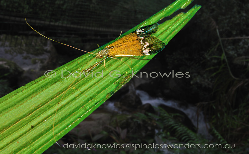 The net-spinning caddisflies have a group of genera that very closely resemble moths. In general their antennae are longer and their larval forms are aquatic. Surprisingly there are some moths that have caterpillars that are also aquatic though the adult moths do not have as long antennae