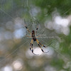 Golden Orb Spider in web