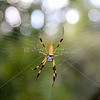 Female Golden Orb Spider