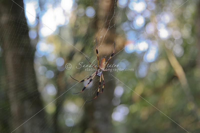 Golden Orb Spider in web