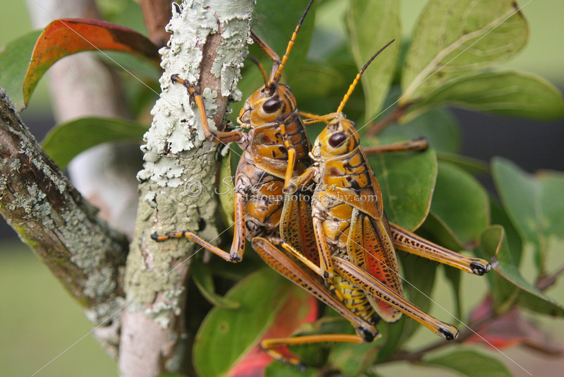 Southeastern Lubber Grasshoppers