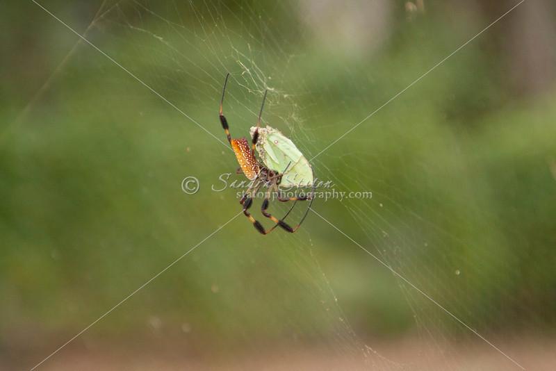 Golden Orb Spider_SS4179