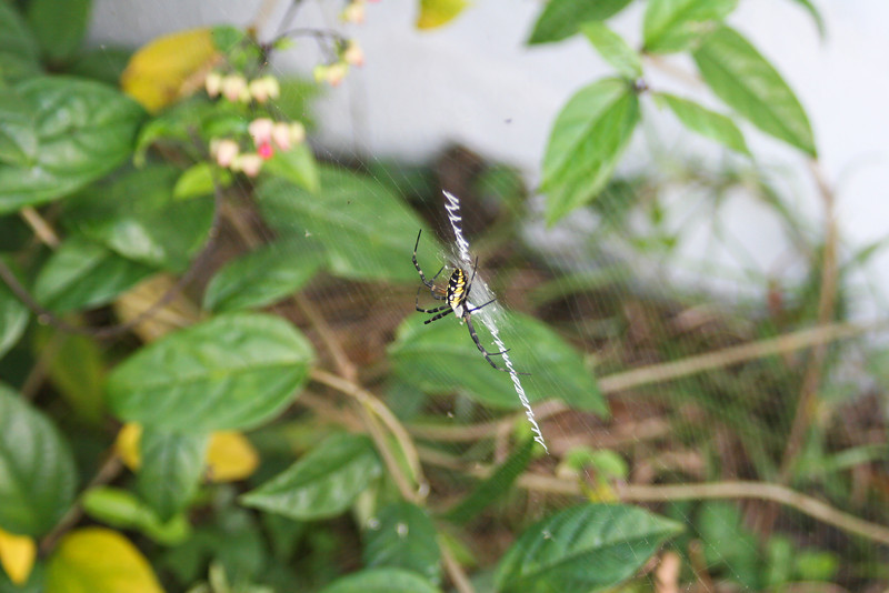 Argiope Garden Spider_SS40021