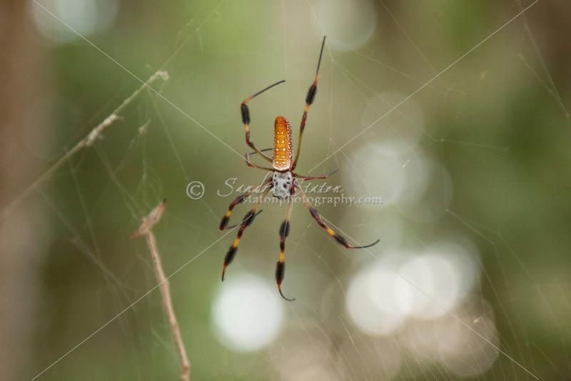 Golden Orb Spider_SS4162