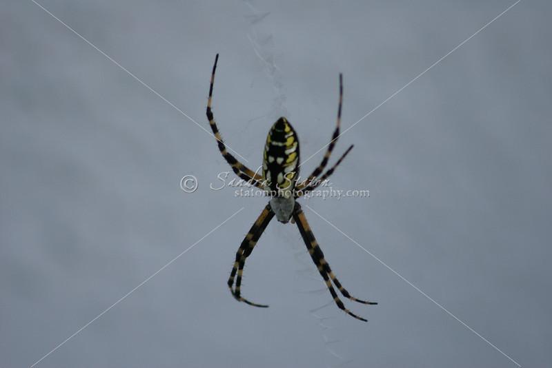 Argiope Aurantia Garden Spider