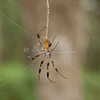 Golden Orb Spider_SSSS4166