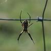 Texas Garden Spider