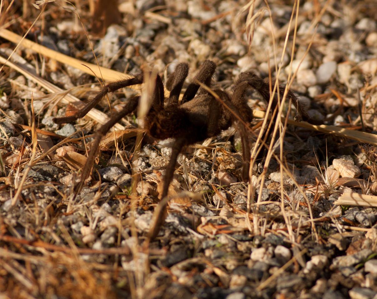 Tarantula Santa Rosa Mountains Ca. 2010 10 17-4.CR2