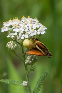 Spider - Goldenrod Crab - female - (Misumena vatia) - Dunning Lake - Itasca County, MN