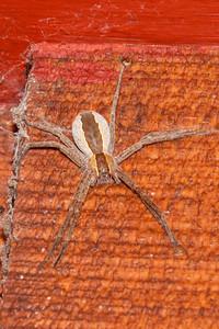 Spider - Nursery Web - (Pisaurina mira) - Bayfield, WI