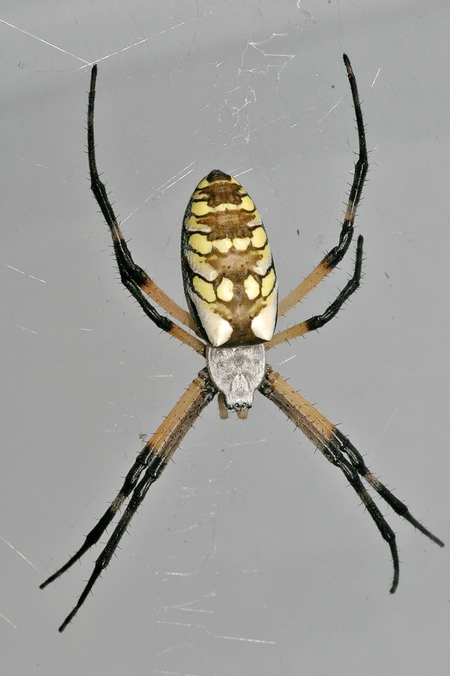 Garden Spider. Ain't it purty? Haha!