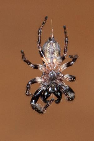 Spider-Bronze Jumper-(Eris militaris)-Dunning Lake-Bovey MN-20130810-03-PS-1