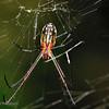 Mabel Orchard Spider (Leucauge mabelae)