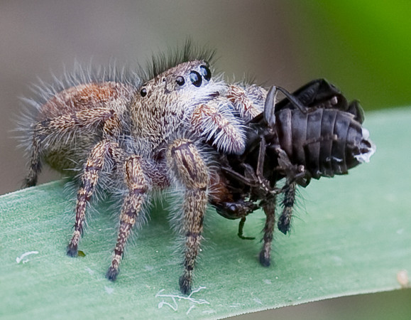 Wolf spider of some kind