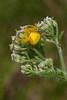 Spider - Goldenrod Crab - female - (Misum enavatia) - Dunning Lake - Itasca County, MN