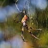 Golden silk orb-weaver (Nephila clavipes)