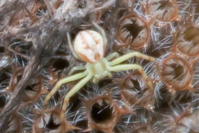 Spider-Crab - (Genus Mecaphesa) - Dunning Lake - Itasca County, MN