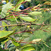 Acrophylla titan - Titan Stick Insect
