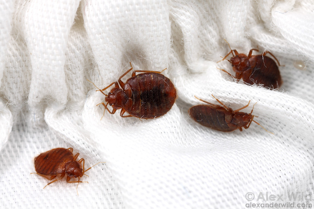 Cimex lectularius bed bugs hiding in the linens. 