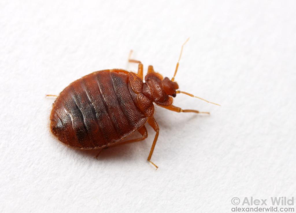 Cimex lectularius, the common bed bug.  Chicago, Illinois, USA