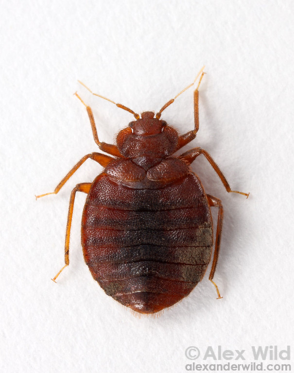 Cimex lectularius, the common bed bug.