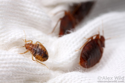 Younger bed bugs are lighter in color than adults.   Chicago, Illinois, USA