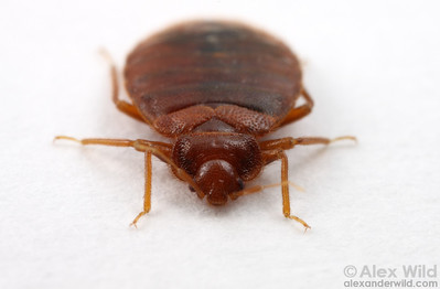Cimex lectularius, the common bed bug.  Chicago, Illinois, USA
