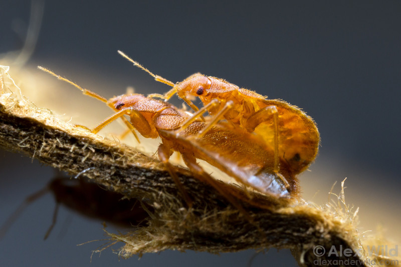 A Plague Of Bed Bugs Alex Wild Photography