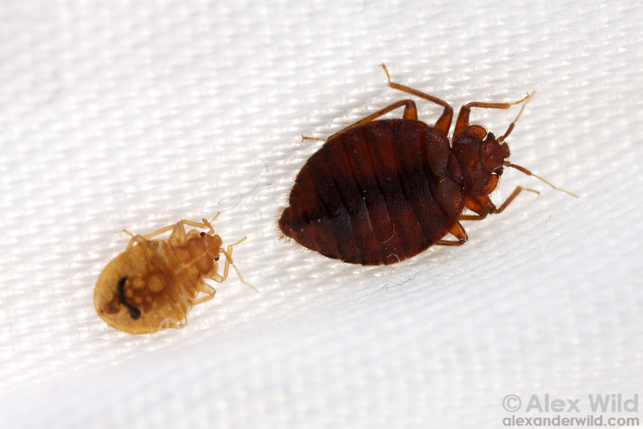 Cimex lectularius nymph (left) and adult bed bugs.  Chicago, Illinois, USA