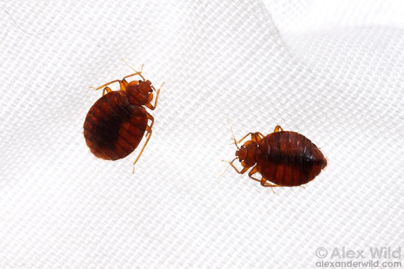 Cimex lectularius, bed bugs on linen.  Chicago, Illinois, USA