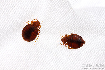 Cimex lectularius, bed bugs on linen.  Chicago, Illinois, USA