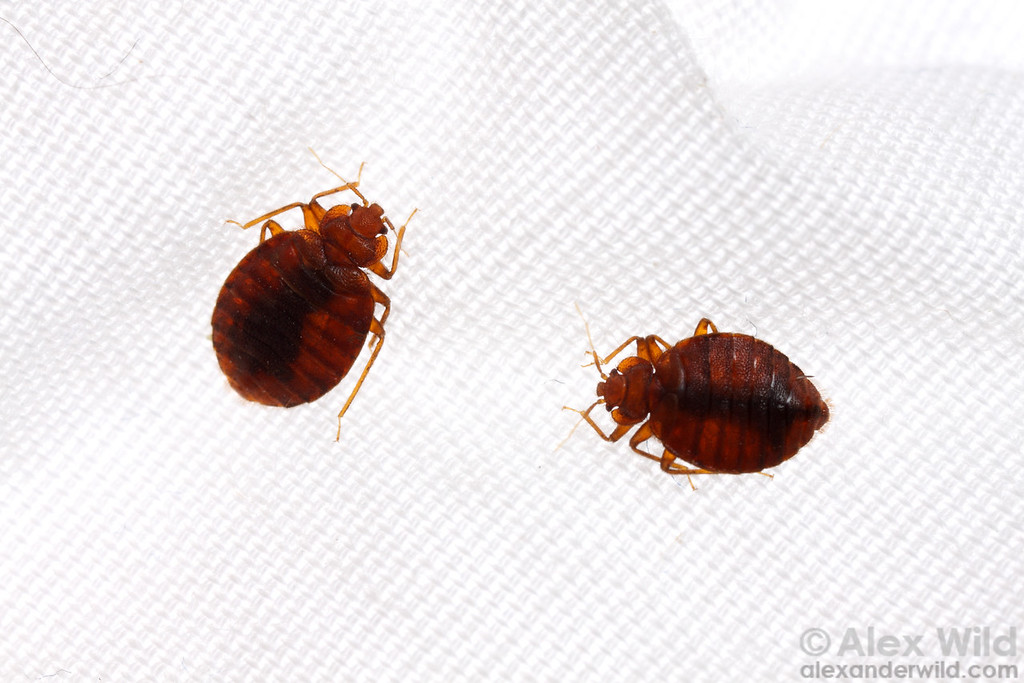 Cimex lectularius, bed bugs on linen.