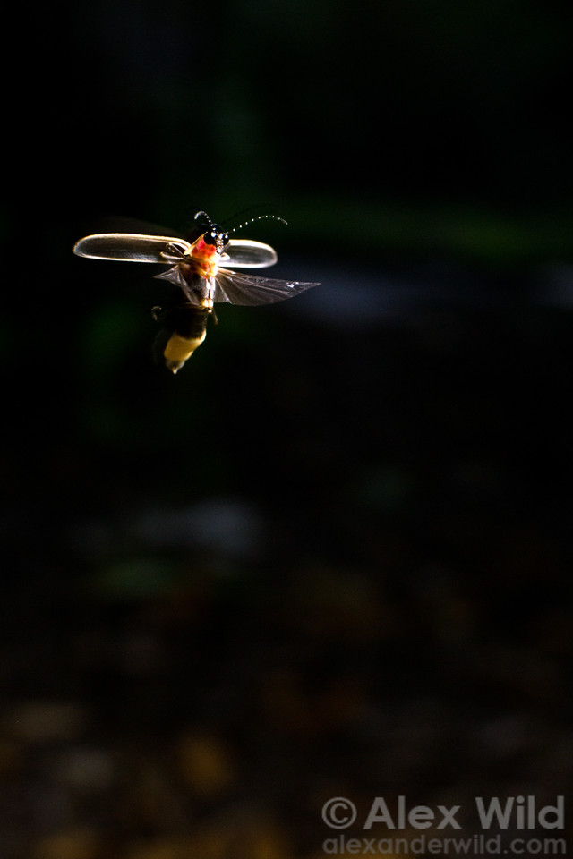 After signaling, a Photinus pyralis male hovers to watch for a return signal from a female. Note the firefly's enormous eyes, well-suited for the task.  Urbana, Illinois, USA