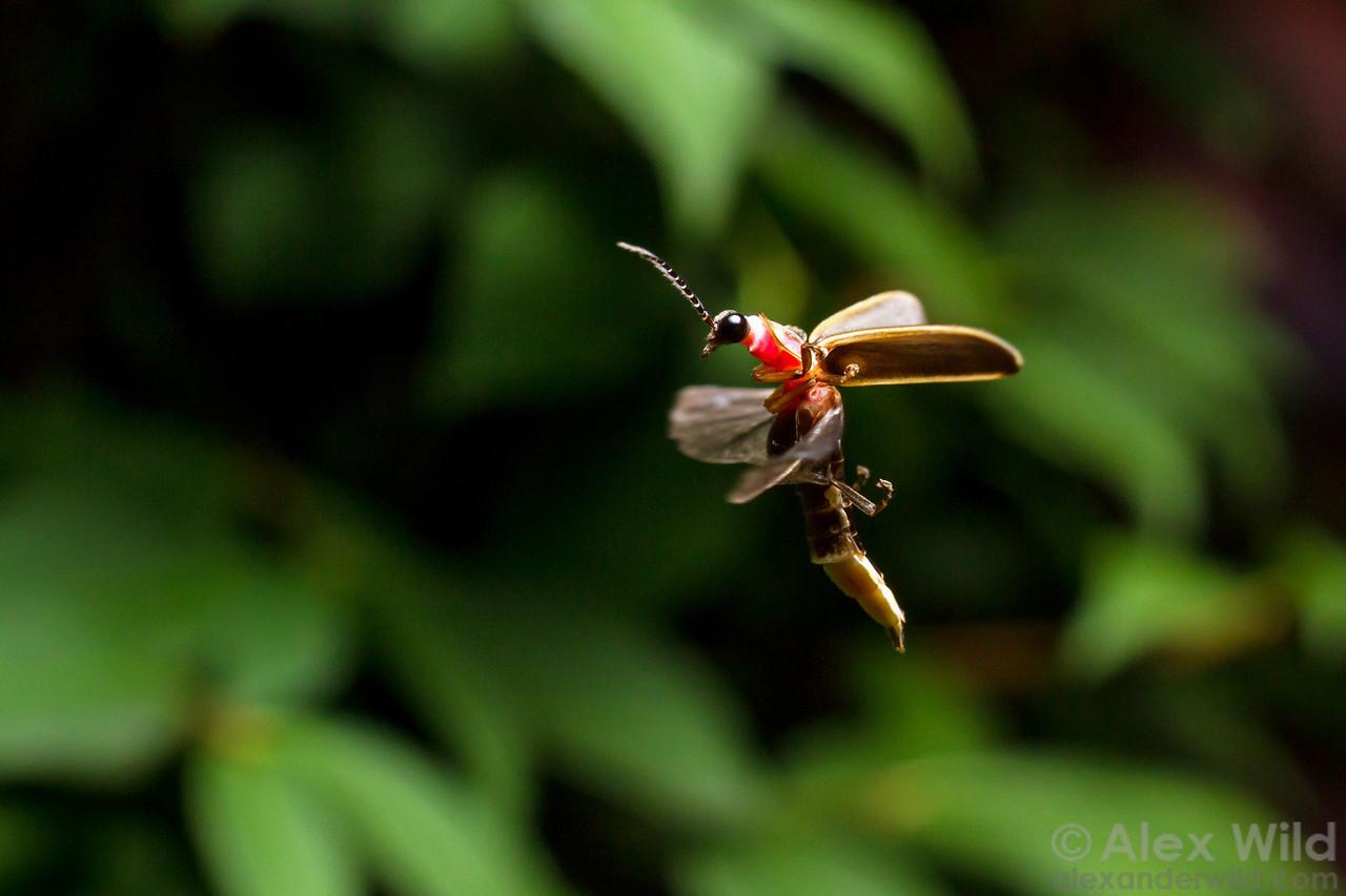 A firefly, Photinus pyralis, in flight.  Urbana, Illinois, USA