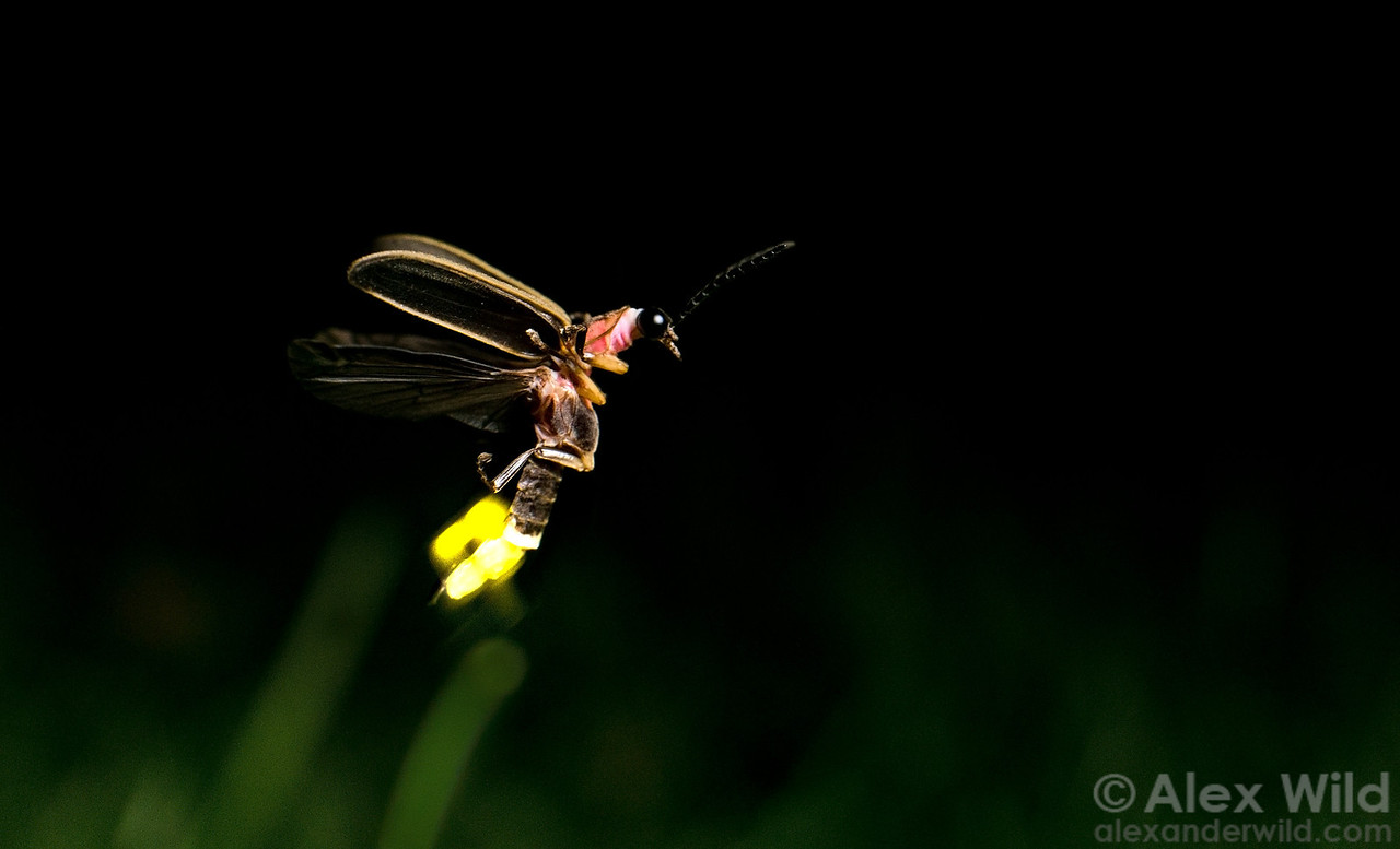 A firefly, Photinus pyralis, in flight. Light is produced by chemical reactions in segments near the tip of the abdomen.  Urbana, Illinois, USA