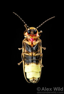 The underside of a male firefly, Photinus pyralis, showing the abdomen's massive light-producing segments.  Urbana, Illinois, USA