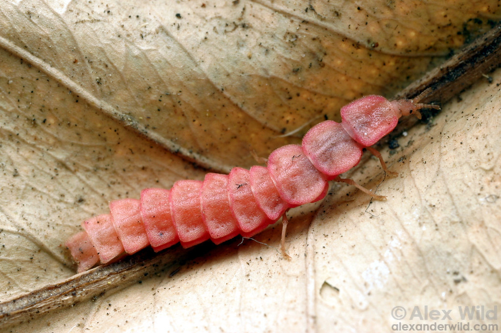 Adult female Microphotus angustus retain a larva-like appearance.  California, USA