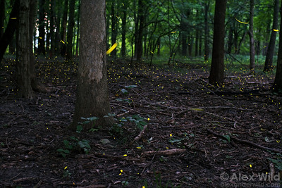 Two species of fireflies active around sunset in an Illinois forest, one just above the forest floor (Pyractomena, the spots) and the other (Photinus) tracing lines a few feet above them. This photograph is a composite of many long exposures taken over a 23-minute interval.  Homer Lake, Illinois, USA