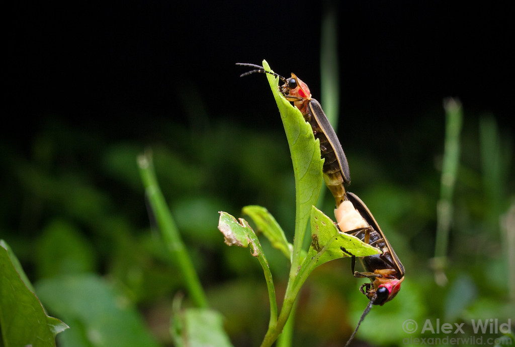 Their luminous courtship succesful, a pair of big dipper fireflies Photinus pyralis mate in the grass. The female (at top) has much smaller light organ than the male.  Urbana, Illinois, USA