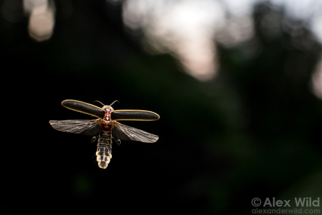 A male big dipper firefly hovers at dusk, awaiting a female reply to his signal.  Urbana, Illinois, USA