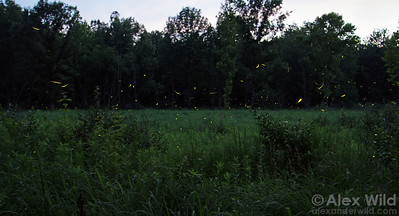 Photinus pyralis fireflies signal to each other at dusk in early summer. Males of this species draw distinctive, J-shaped swoops while females signal their interest from the grass.  Homer Lake, Illinois, USA