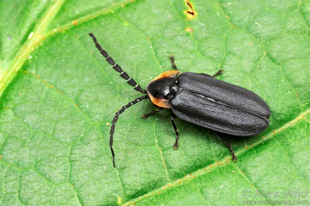 Lucidota atra, the dark firefly, does not glow as an adult. Instead, these beetles attract mates the traditional way, with pheromones. The antennae are subsequently well-developed.  South Bristol, New York, USA