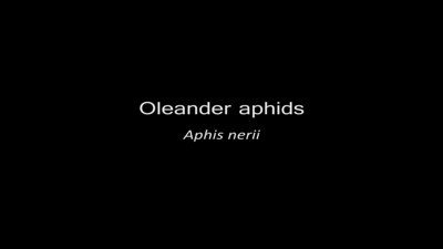 Aphis nerii - the Oleander aphid - is native to the Mediterranean region and feeds on Apocynaceae. Because of global commerce, this insect is now found worldwide.